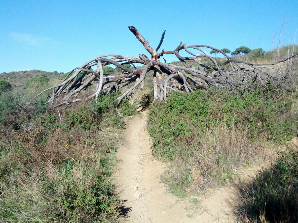 Restes d'arbre amb una forma capriciosa al mig del camí