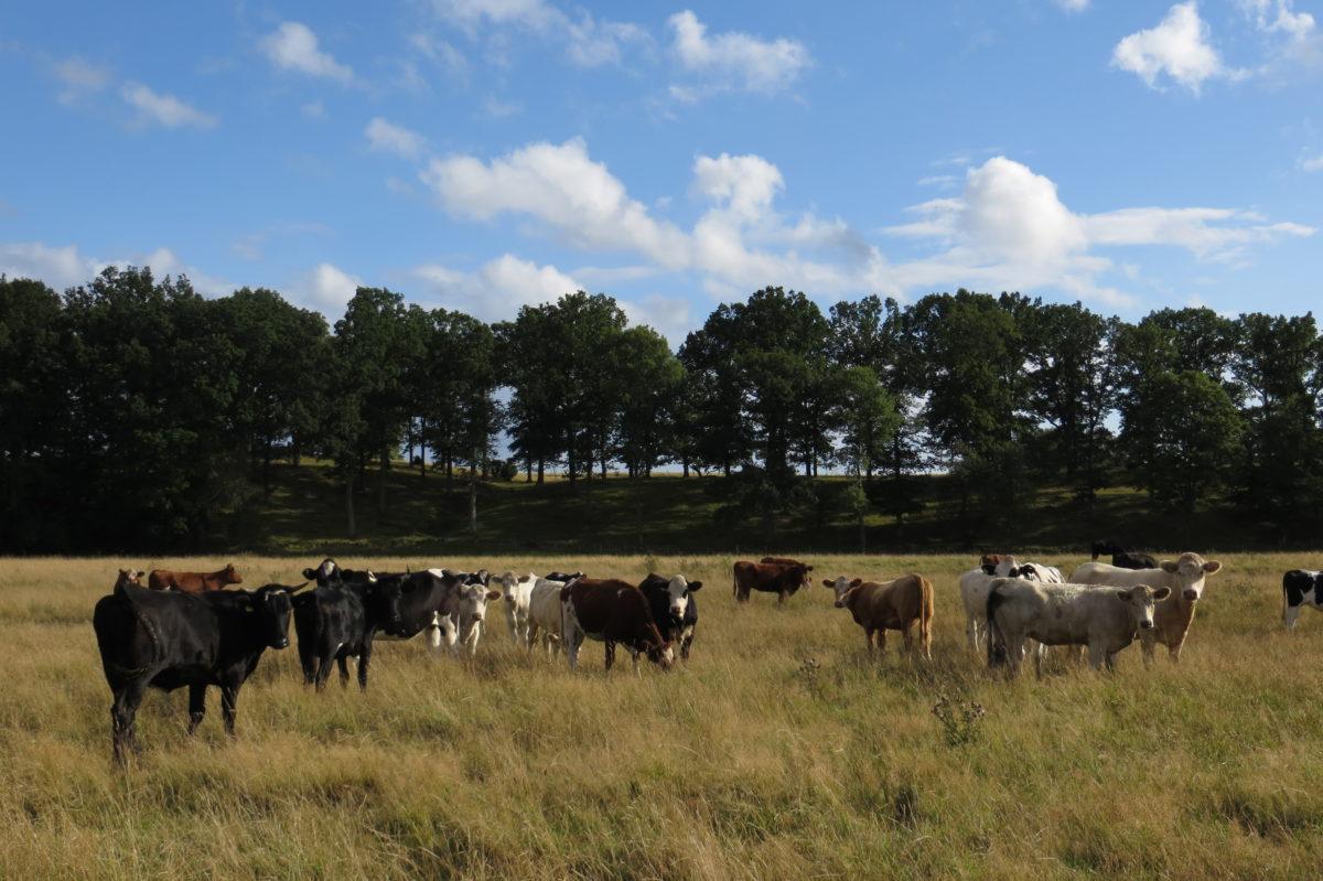Ramat de vaques que ens miren al nostre pas