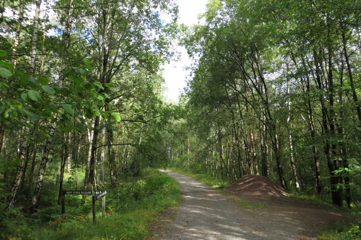 Camí emmig del bosc