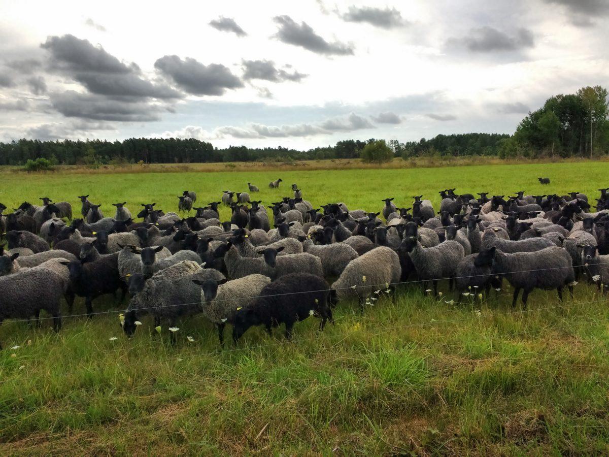 El mateix ramat però amb les ovelles agrupades més a prop nostre