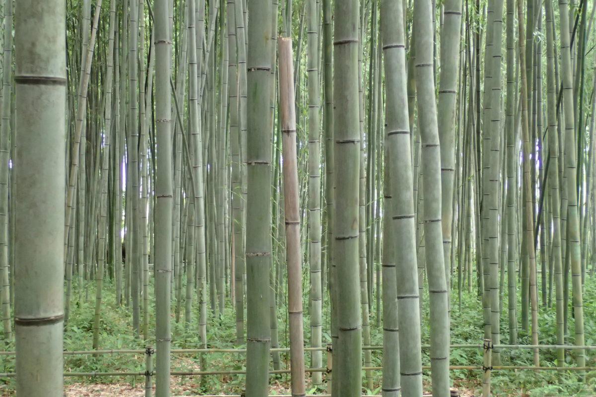 Detalls dels troncs de bambú al bosc de bambús