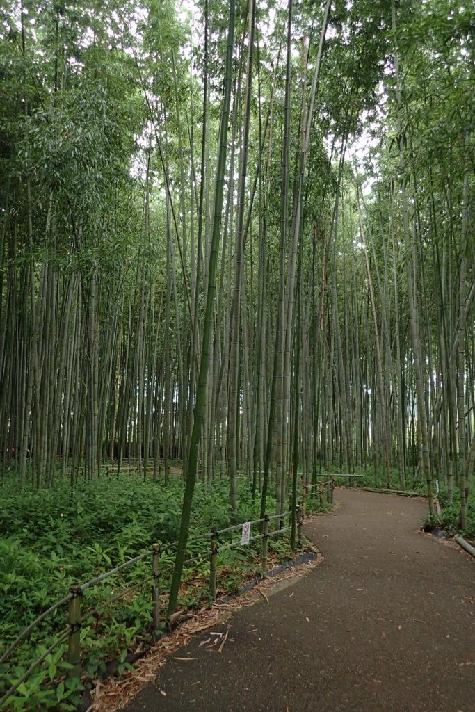 Camí entre bambús