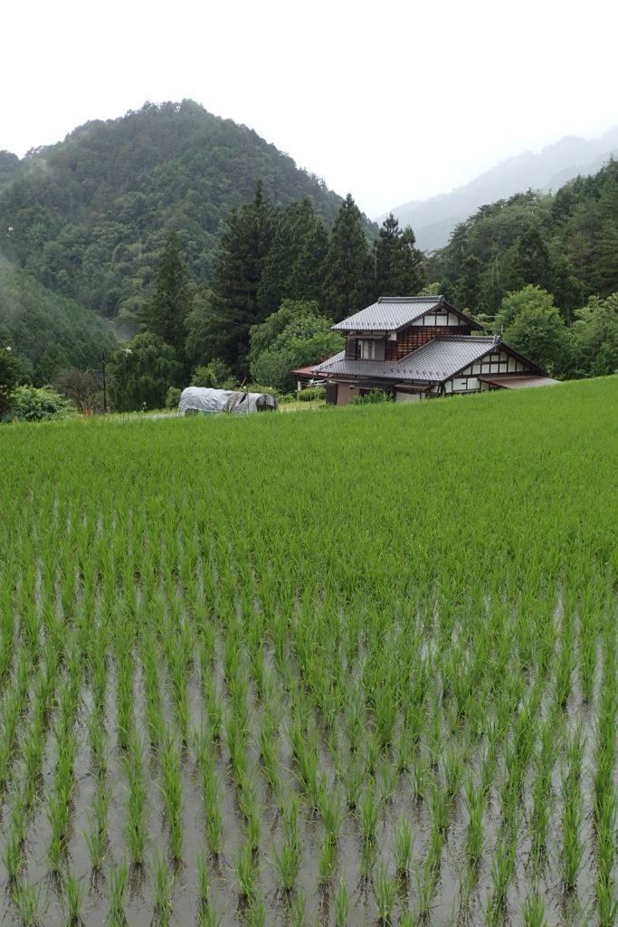 Camp d'arròs en primer terme, casa i muntanyes al fons